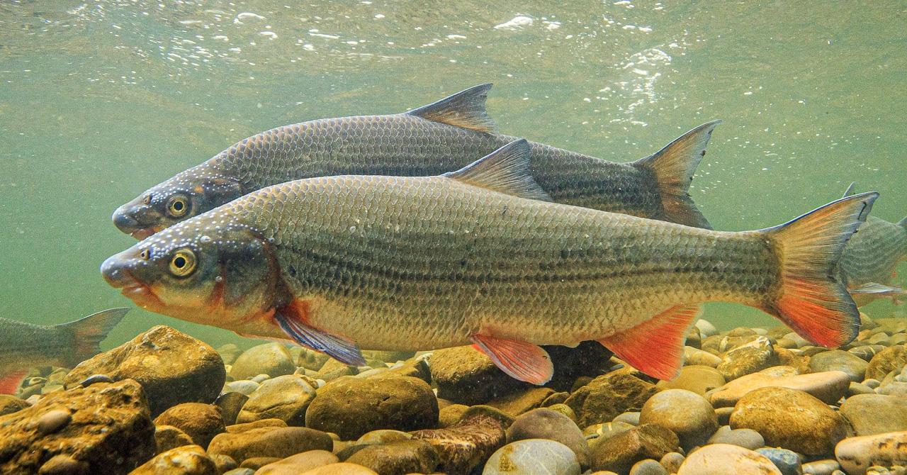 Fisch des Jahres 2020